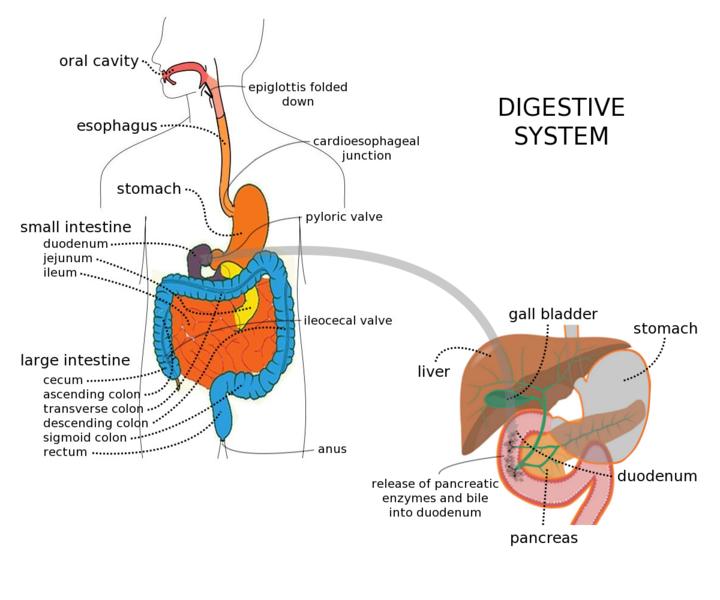 Digestive_system_with_liver photo by Gordon Flynn